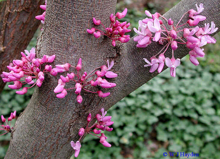 cercis_canadensis_UR_02s